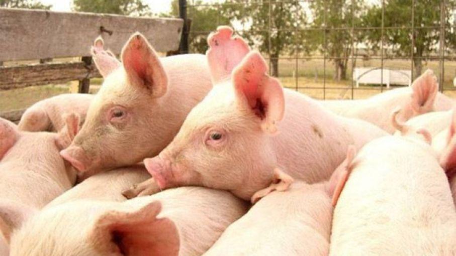 El Senasa instó a todo el sector porcino a 'proteger la sanidad'