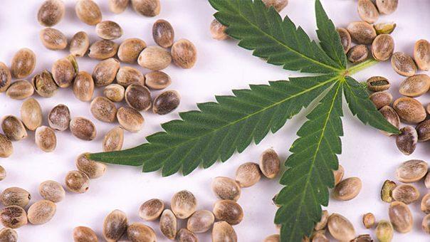 """El Cannabis: """"Primer lote de semillas certificadas por INASE"""""""