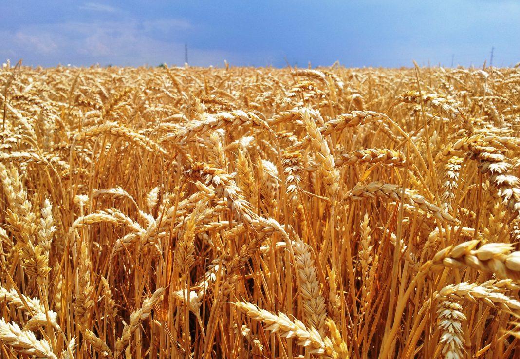 """""""El trigo, favorecido por las lluvias"""""""