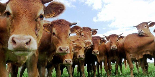 Investigan si un antiparasitario, muy conocido por los ganaderos, puede servir para tratar el coronavirus