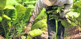 """""""Productores piden restablecer la actividad tabacalera"""""""