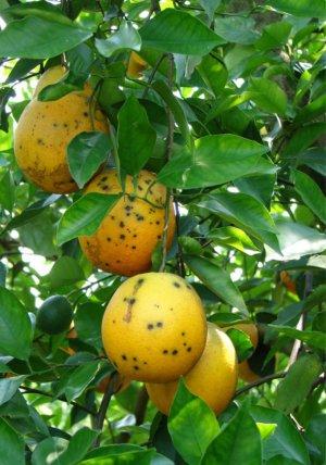 Suspenden las exportaciones de limones frescos a la Unión Europea
