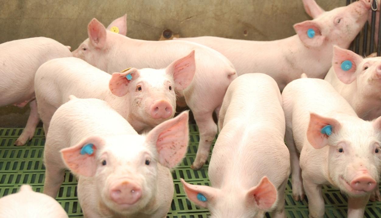 Creció las exportaciones de carne de cerdo de la UE