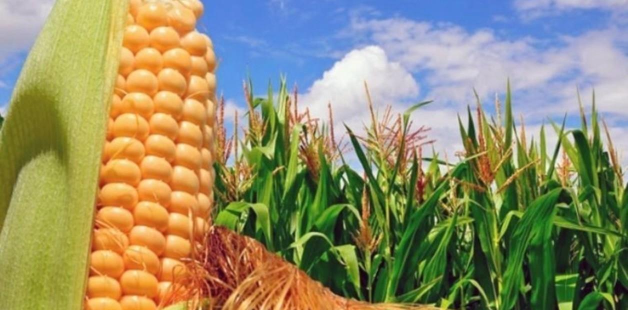 Maíz: finalizó la cosecha nacional y luego de 20 años superó a la producción de soja
