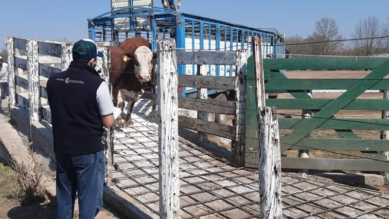 SENASA: continúan los controles en frontera para prevenir la aftosa