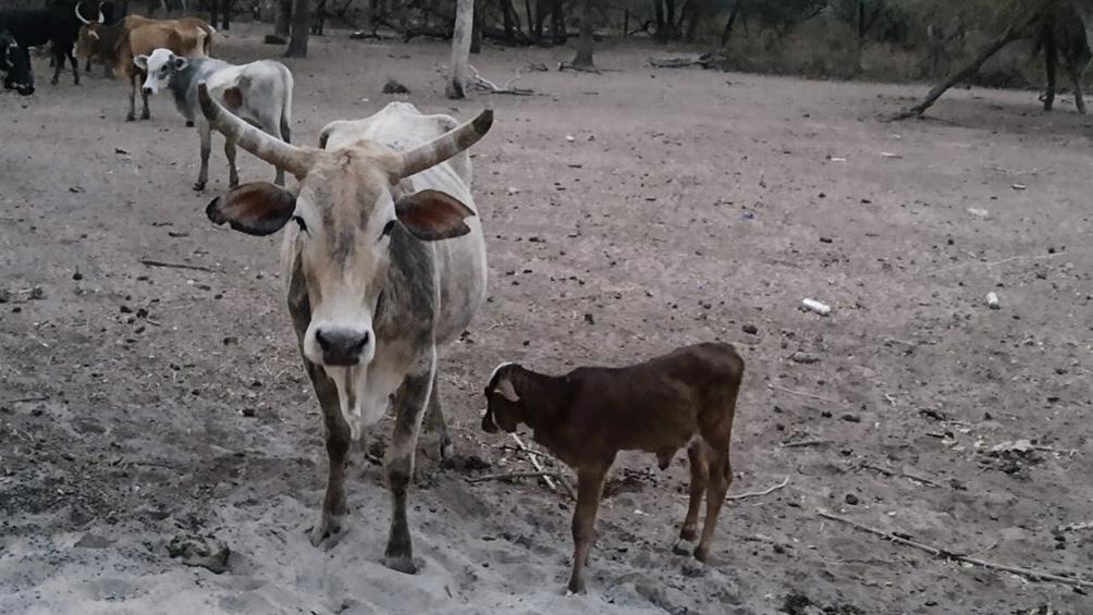 Sequía en Misiones: el sector ganadero es el más afectado